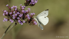 Cabbage White Butterfly (Bob Gunderson) Tags: butterflies cabbagewhite california fortmason insects northerncalifornia sanfrancisco wildlife