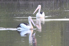 Pelecanus conspicillatus (Australian Pelican) (Arthur Chapman) Tags: pelecanus conspicillatus pelecanusconspicillatus australianpelican southwestrocks newsouthwales nsw australia taxonomy:kingdom=animalia taxonomy:phylum=chordata taxonomy:class=aves taxonomy:order=pelecaniformes taxonomy:family=pelecanidae taxonomy:genus=pelecanus taxonomy:binomial=pelecanusconspicillatus taxonomy:common=australianpelican geocode:accuracy=100meters geocode:method=gps geo:country=australia