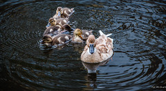2018 - Delft - Family Canal Swim (Ted's photos - Returns Late November) Tags: 2018 cropped delft nikon nikond750 nikonfx tedmcgrath tedsphotos vignetting water reflection waterreflection ripples waterripples ducks birds familyswim duckfamily swimming beek beeks bird