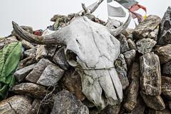 Skull of yak at Tsemo La pass - Gasa District - Snowman Trek - Bhutan (PascalBo) Tags: nikon d500 asie asia southasia asiedusud drukyul drukgyalkhap bhutan bhoutan འབྲུག་ཡུལ། འབྲུག་རྒྱལ་ཁབ་ snowman trek trekking hike hiking lunana gasa himalaya himalayas jigmedorjinationalpark skull crâne dead death mort rock outdoor outdoors pascalboegli