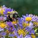 Bumble Bee on Flowers - Atlanta Botanical Garden
