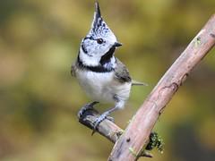 Crested Tit (Lophophanes cristatus) (eerokiuru) Tags: crestedtit lophophanescristatus haubenmeise tutttihane bird p900 nikoncoolpixp900