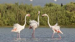 Flamenco común (Phoenicopterus roseus) (jsnchezyage) Tags: flamencocomún phoenicopterusroseus ave bird birding birdwatching ornithology beak feather flamingo greaterflamingo