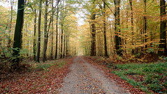 The golden forest (Landanna) Tags: nørreskoven als sønderjylland zuidjutland denmark denemarken danmark dänemark skov bos forest nature natur natuur fallingintoautumn fall farverafefterår efterår efterårsfarver herfst herfstkleuren autumn autumncolours