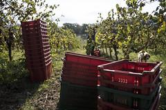 IMG_6057 (Marco Ambrosini Fotografo) Tags: vendemmia maremma toscana vineyard vitigno vite vine vino wine morellino scansano harvestgrapes uva coltivazione coltivatore tradizione heritage blue purple red rosso viola blu sky cielo