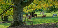 Udny Cattle grazing. (artanglerPD) Tags: trees cattle grazing autumn sunlight