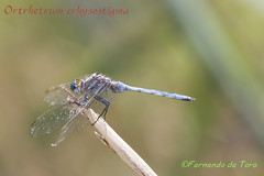 Orthetrum chrysostigma (F de Toro) Tags: adulto amposta animales anisoptera catalunya charcas deltadelebro dragonflies fauna invertebrados libelula macho odonatos orthetrumchrysostigma spain tarragona españa