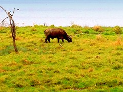 Kenya, Lake Nakuru National Park. Buffalo (dimaruss34) Tags: newyork brooklyn dmitriyfomenko image sky kenya svetlanafomenko lakenakurunationalpark animal birds flamingo grass buffalo tree field lake