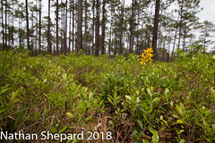 Lysimachia asperulifolia (Nathan Shepard) Tags: rough leaf loosestrife lysimachia asperulifolia endangered species plant botany biology ecology savanna coastal plain north carolina southeast nathan shepard 70d canon flash wide angle may 2018 longleaf pine forest ecosystem