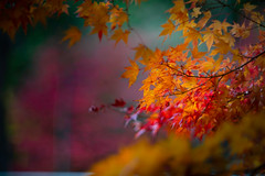 Autumn Colors (moaan) Tags: kobe hyogo japan jp autrumn autumn leaf maple mapleleaf japanesemaple momiji growth autumncolors fallcolors november21 2017 futatabi park outdoor focusoforeground selectivefocus depthoffield leica leicaphotography leicamp type240 noctilux 50mm f10 bokehphotography