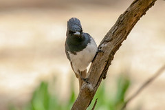 Leaden Flycatcher (Alan Gutsell) Tags: leaden flycatcher leadenflycatcher federation spit alan wildlife nature queensland