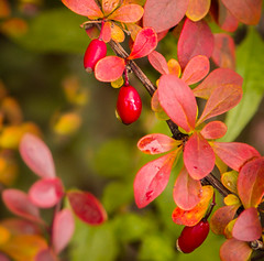 Autumn Foliage and Berries (mahar15) Tags: autumn foliage color plant fall colors nature leaves october outdoors fruit red berries autumncolor autumnfoliage fallcolors fallleaves redberries
