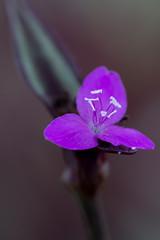 Gros plan de fleur violette (gaillardou) Tags: serres municipale toulouse fleur plante automne feuille flower plant green culture plantation