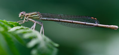 Damselfly (Michel Couprie) Tags: damselfly damsel libellule demoiselle dragonfly macro nature animal insect insecte dof bokeh leaf focus canon eos 7d ef10028lmacro couprie