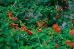 Butterfly (Phet Live) Tags: leica 135mm f28 elmarit phet live