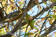 (-13AM-) Tags: bird parrot green feeding nature tree sycamore vogel papagei