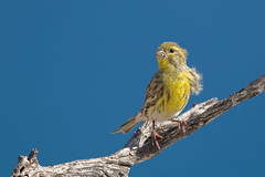 Serin (Simon Stobart - Back But Way Behind) Tags: serin serinus perched branch spain east