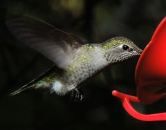 Hummingbird Feeding (How.I.E) Tags: big bird colors colorful feathers wing eyes claws claw feet leg legs awesome amazing beautiful wild wildlife toe wow cool nice neat sweet farout top apex predator kill hunt hunter killer stare still peer freeze cold snow winter west coast canada bc today best animal world sanctuary richmond great excellent mouth all terrific courageous
