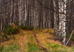 Birch trees and autumn colors (tskogset) Tags: birch autumn color leaves nature flickr bismo skjåk norway landscape reinheimen pentaxk5lls hdpentaxdfa28105mmf3556eddcwr