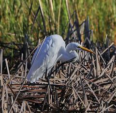 10-18-18-0038512 (Lake Worth) Tags: animal animals bird birds birdwatcher everglades southflorida feathers florida nature outdoor outdoors waterbirds wetlands wildlife wings