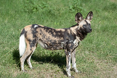 African Wild Dog. (LisaDiazPhotos) Tags: lisadiazphotos living desert palm wildlife african wild dog male