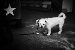 Star dog (iamunclefester) Tags: vacation holiday croatia krk otokkrk blackandwhite monochrome market street sad dog white small little star dark contrast waiting tar reflexion bag leash lead
