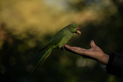 Blissing out? (PChamaeleoMH) Tags: birds centrallondon feeding hands interaction london parakeet people ringneckedparakeets stjamesspark