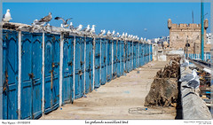 Les goélands surveillent tout (MarcEnGalerie) Tags: vacances goélandargenté oiseau herringgull larusargentatus voyage morocco maroc essaouira mar