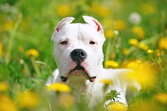 Dogo Argentino Dog Breed Facts & Information (katalaynet) Tags: follow happy me fun photooftheday beautiful love friends