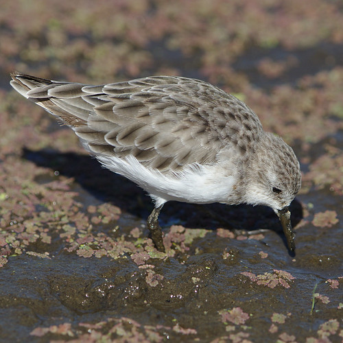 "Little stint, Calidris minuta (Erolia minuta), at Marievale Nature Reserve, Gauteng, South Africa • <a style=""font-size:0.8em;"" href=""http://www.flickr.com/photos/93242958@N00/45489023652/"" target=""_blank"">View on Flickr</a>"