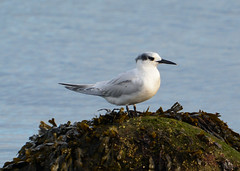 Sandwich Tern (Lanius Excubitor) Tags: sandwich tern rock seaweed water nikon