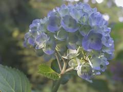Pastel Hydrangea (Mr.LeeCP) Tags: seattle flower fall autumn garden plants