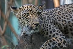 Persischer Leopard (tom22_allgaeu) Tags: augsburg deutschland europa freizeit persischerleopard zoo raubtier katze nikon d7200 sigma freehand freihand