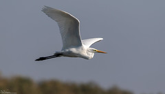 Great White Egret (Steve (Hooky) Waddingham) Tags: animal countryside bird british nature planet flight fishing wild wildlife