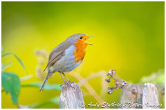 Autumn Robin (www.andystuthridgenatureimages.co.uk) Tags: robin thrush song sing singing perch autumn leaves colours gold yellow green fence bird animal