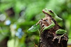 2J4A8037 (ajstone2548) Tags: 12月 樹蛙科 兩棲類 翡翠樹蛙