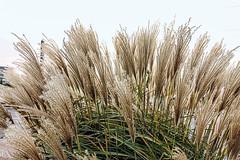 IMG_9035 (karlheinz.nelsen) Tags: natur pflanzen blumen insekten