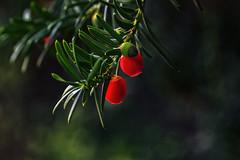 Red berries (anderswetterstam) Tags: berries fall nature plants seasons autumn tree red green