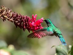 IMG_2034 Lesser Violet-ear (suebmtl) Tags: bird hummingbird lesservioletear panama colibricyanotus
