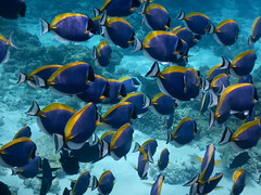 A school of Powder Blue Tang / Surgeonfish in The Maldives (omnia2070) Tags: the maldives south male atoll nemo reef powder blue tang surgeonfish yellow ocean sea indian school