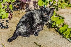 Activate (p) (davidseibold) Tags: america animal backyard bakersfield california cat dirt garden grape hose kerncounty pet photosbydavid plant platoct unitedstates usa woodythecat