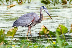Great blue heron (mayekarulhas) Tags: heron greatblueheron johnheinznaturereserve canon canon500mm canon1dxmark2 wildlife bird avian
