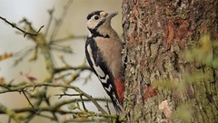 Great Spotted Woodpecker (doranstacey) Tags: nature wildlife birds great spotted woodpecker shillito wood woods woodland peak district forest countryside tamron 150600mm nikon d5300 fall