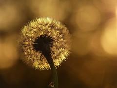 In the setting sun (joeke pieters) Tags: 1430911 panasonicdmcfz150 paardenbloem dandelion zonsondergang sunset bokeh bloem flower ngc npc