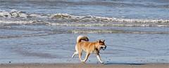 Hond aan het strand (Roel Wijnants) Tags: ccbync roelwijnants roelwijnantsfotografie roel1943 zee kust zuiderstrand wandelen bal spelen hond acitytolove denhaag thehague absolutelythehague city hofstad haagspraak leesdegebruiksvoorwaarden