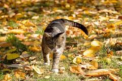 DSC_3698 (benji86cz) Tags: cat tomcat helios auntum leaves manual focus old lens nikon d3300