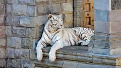 Tigre Blanc - 6092 (ΨᗩSᗰIᘉᗴ HᗴᘉS +27 000 000 thx) Tags: tigre tiger whitetiger tigreblanc fauve animal pairidaiza hensyasmine namur belgium europa aaa namuroise look photo friends be wow yasminehens interest intersting eu fr greatphotographers lanamuroise
