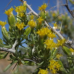 cottonthorn, Tetradymia axillaris var. axillaris thumbnail