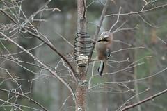 Nötskrika (Torgny Henriksson) Tags: fåglar garrulusglandarius