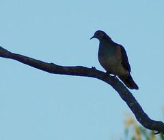 pigeons doves-11 (Captain Hadoc) Tags: bird birds australia wild wildlife farm pigeonsdoves pigeons